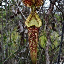 Nepenthes rafflesiana