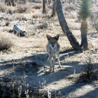 Une fraction de seconde pour que le temps s'arrête. Joshua Trees National Park, Californie du sud. Ces grands espaces protégés se situant au début du désert de Mojave sont malgré les conditions arides locales, un habitat essentiel pour de nombreuses espèces végétales et animales endémiques. Le coyote quand à lui fait preuve d'une grande adaptabilité à son environnement très marqué par l'homme. (Greg, M2 BioGET 2016-2017)