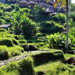 Dans la zone équatoriale d'asie du Sud-Est, le climat extrêmement humide est favorable à l'irrigation et à la culture du riz. Ce travail intensif et la haute rentabilité des cultures de riz pour les surfaces cultivées ont permis d'atteindre de très haute densité de populations dans les grandes iles Indonesienne. Cependant, le riz n'est pas la seule plante cultivée dans ces rizières, les bananiers et les cocotiers sont nombreux, et les jungles environnantes recellent d'hévéa et autres espèces utiles. (Mich M2 BioGET 2016-2017)