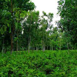 Dans le monde rural indonésien, tout est bon pour diversifier ses sources de revenus et maximiser le rendement des terres agricoles. Ici, des arbres fruitiers (entre autre lychee) sont cultivée sur les mêmes parcelles que des cultures de plantes annuelles à l'orée d'une forets sacrée hindouiste. Ainsi, les cultures profitent d'un microclimat humide et les paysans bénéficient d'une récolte diversifiée. Auteur: Michel Valette (dit Mich sur d'autres photos, M2 BioGET 2016-2017)