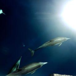 Fins in a sea of skies. Channel Islands National Park, California. Prise d'un banc de dauphin de près de 180 ailerons proche de l'île d'Ana Capa. Cette réserve marine connue pour ses forêts de Kelps géants et sa biodiversité incroyable était un des spots favoris de notre ami au béret rouge J.J Cousteau. Il était fasciné par la pureté de ces lieux, qui sont encore aujourd'hui un spot d'observation phare lors des migrations des baleines. Ces lieux sont néanmoins menacés par les fuites pétrolières régulières, la pollution due au trafic maritime du port de Los Angeles et de Long Beach, ainsi que par les algues marines invasives. (Greg M2 BioGET 2016-2017)