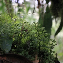 Hymenophyllaceae - Parque Nacional Cutervo - Perou - (LP Dagallier).JPG