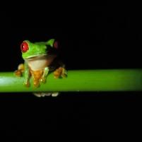 Rainette aux yeux rouges - Costa Rica - Louise