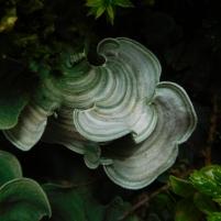 Le lichen le plus charismatique de Guadeloupe ! Dictyonema glabratum il pousse sur les roches volcaniques de la Soufrière à haute altitude lorsque la végétation est rase (qu'on quitte la forêt) (c) E.Lebreton (M2 BioGET 2018-2019)