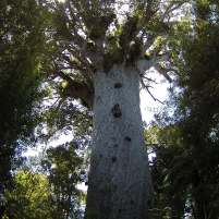 Photographie du plus vieux Kauri vivant de Nouvelle Zélande (2100 ans estimés). Sa hauteur totale est de 51,5 m et son volume de tronc est de 244,5 m³ (de quoi construire 3 maisons de 3 pièces). Dans la cosmologie Maori cet arbre est Tane Mahuta, fils de Ranginui, père du ciel, et de Papatuanuku, terre mère. Tane sépara ses parents enlacés pour apporter la lumière, la place et l'air et permettre à la vie de se développer. Ces arbres ont des racines superficielles très sensibles et sont victimes d'un champignon qui les ravagent. Le passage autour de ces géants les menaces.