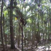 Photographie d'une forêt témoin ne présentant aucun piège mais seulement des dispositifs d'estimation de la population de rongeurs. Cette partie est dominée par la seule espèce de palmier endémique de Nouvelle Zélande, le Nikau (Rhopalostylis sapida).