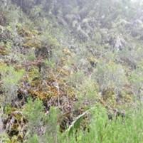 Sortie terrain à la Plaine des Fougères, route forestière (1300 m d'altitude) avec Claudine Ah-Peng, talus humicole composé essentiellement de Gottschelia schizopleura et Sphagnum tumidulum (photos du 26/04/18).