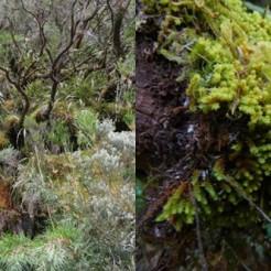 Sortie terrain sur le GR du Piton des Neiges, Macromitrium serpens à droite (photos prises le 31/05/18).