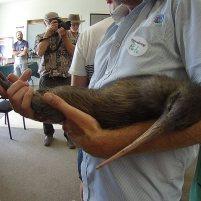 Photographie d'une femelle Kiwi (Apterix mantelli) tenue par un ranger. Elle fait partie d'un programme de réintroduction et a été présenté aux organismes de protection du Northland.