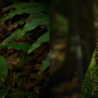 Deux lichens : à gauche une usnée (usnea sp.) (vu dans la forêt de bains jaunes, Soufrière) et à droite Letrouitia sp. (en forêt marécageuse)
