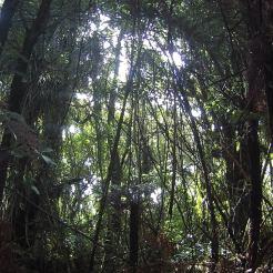 Photographie dans une forêt du Northland. Barrage dense de Kareao (Ripogonum scandens), une liane très rigide endémique et commune des forêts de basse altitude. Passer à travers pour couper une nouvelle piste n'est pas chose aisée.