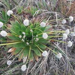 Paepalanthus columbiensis (Eriocaulaceae) dans la réserve d'Iguaque. Photo : Ewen Dano.