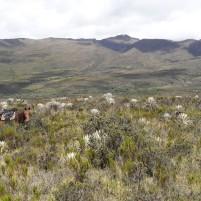 Páramo de Sumapaz dans la Cordillère Orientale de Colombie. La communauté végétale est dominée par des rosettes géantes (Espeletia spp.), de petits arbustes (Hypericum spp.) et des graminées (Calamagrostis spp.). Photo : Ewen Dano.