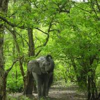 Eléphante au ranch de Nazinga qui nous impressionne pour protéger son petit (caché derrière)