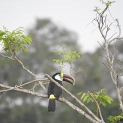 Guyane. Un toucan à bec rouge (Ramphastos tucanus) qui finit son petit déjeuner dans les premières lueurs du matin. (c) Jérémie Lapeze (donateur)
