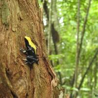 Dendrobates tinctorius, un des amphibiens les plus spectaculaires de la faune guyanaise. La coloration de sa robe varie suivant les régions. Ici le morphe de Saül, au cœur de la forêt guyanaise. (c) Jérémie Lapeze (donateur)