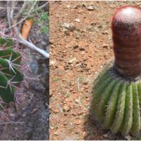 M.intortus juvéniles (gauche) et adultes (droite).