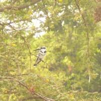 Alcyon Pie (Ceryle rudis) sur un arbre perché. Lors d'une randonnée près du village de Keur Bourama. (c) Pauline W