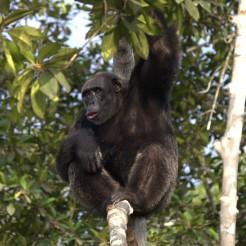 Congo chimpanzé