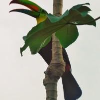 Panama - Touccan à carène & Cecropia