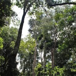 Foret Borneo