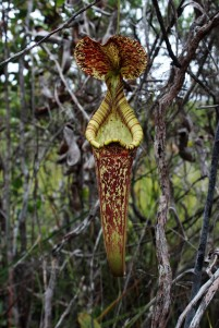 Nepenthes Borneo