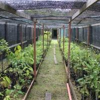 Pepinnieres Borneo